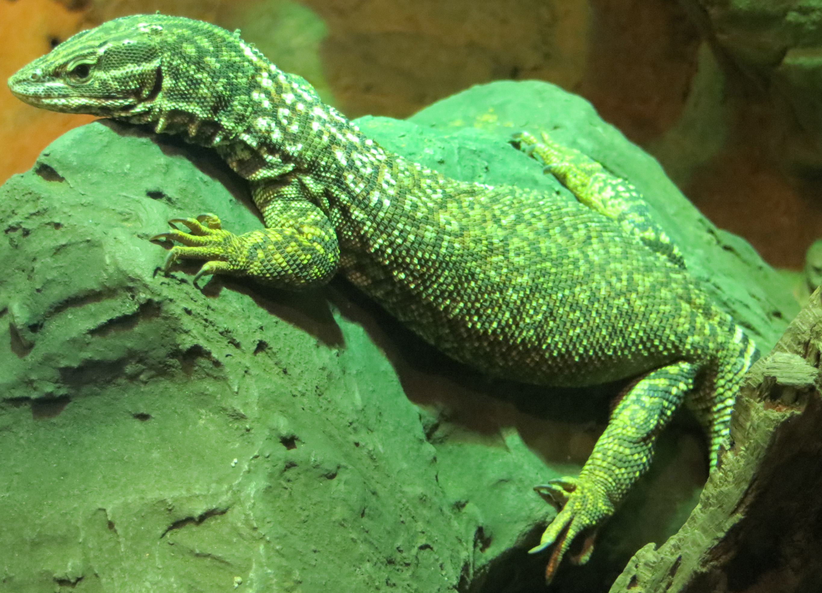 free stock photo of a bright green lizard