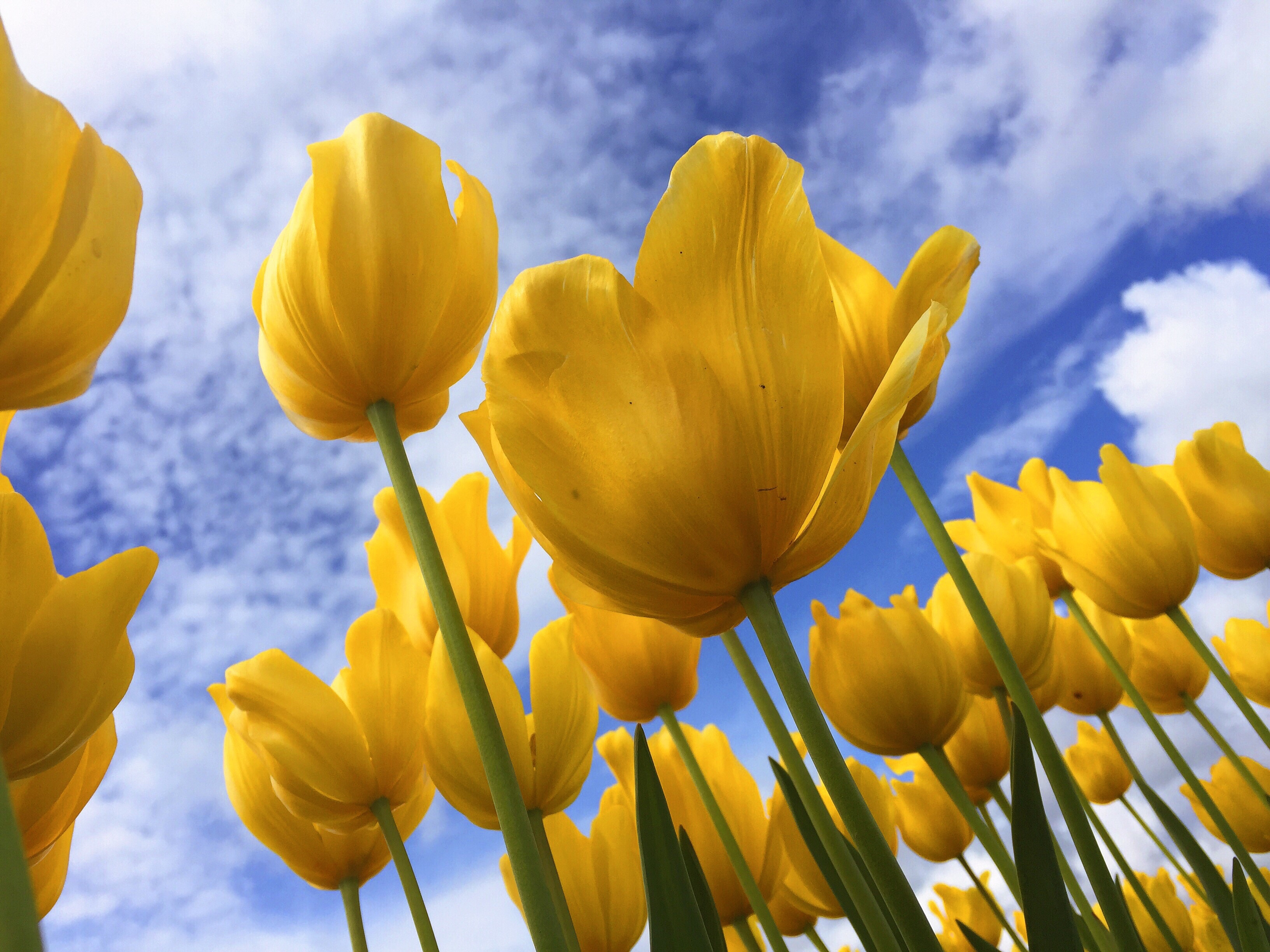 yellow tulips against a blue sky with some white clouds.